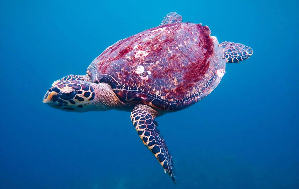 A hawksbill sea turtle swims at Malong dive site
