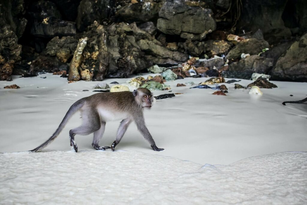 A monkey walks along the shore at Monkey Beach