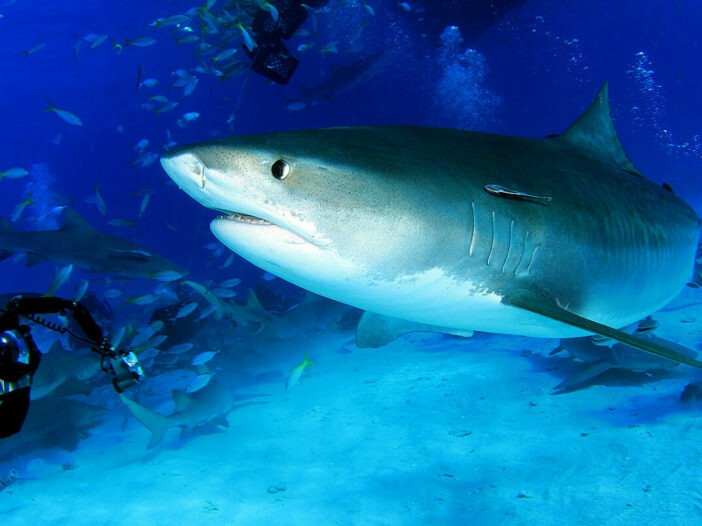 A tiger sharks swims past two scuba divers with underwater cameras at Tiger Beach in Grand Bahama