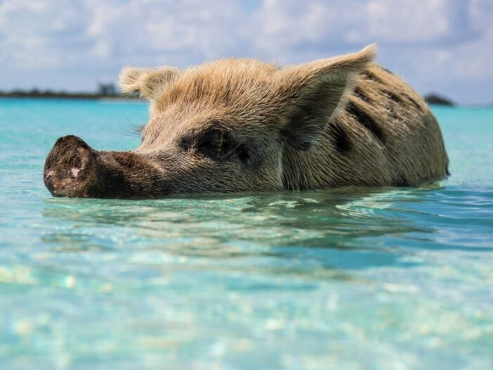 A pig swims in the clear blue waters of Exuma in the Bahamas